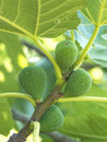 Figs on the tree Royalty Free Stock Image