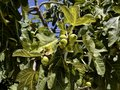 Figs tree Royalty Free Stock Photography