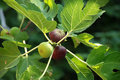 Figs on tree Royalty Free Stock Photo