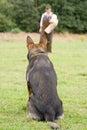 Figurant and German shepherd at work Stock Photos