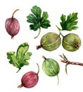 Figure gooseberries with green leaves in several angles. Painted in watercolor