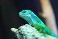 Fiji banded iguana Royalty Free Stock Photo