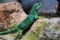Fiji iguana brachylophus bulabula on the rock Royalty Free Stock Photography