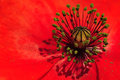 Filament from poppy flower plant a Royalty Free Stock Images