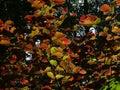 The filbert Corylus maxima Royalty Free Stock Photo