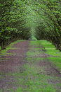 Filbert orchard well manicured and maintained hazelnut tree farm in oregon Stock Image