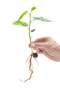 Filbert sapling hand holding carefully a on white background Royalty Free Stock Image