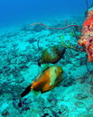 Filefish Stock Image