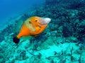 Filefish Stock Photography