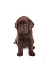 Filhote de cachorro do retriever de Labrador do chocolate Fotografia de Stock Royalty Free