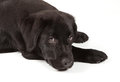 Filhote de cachorro do Retriever de Labrador do Preto-Chocolate Fotografia de Stock Royalty Free