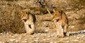 Filhotes de leão no prowl Fotografia de Stock Royalty Free