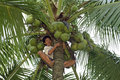 Filipino man cuts coconuts in top of palm tree