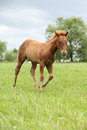 Filly of sorrel solid paint horse before a storm Royalty Free Stock Photo