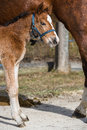 Filly young togehter with its mother Royalty Free Stock Photography