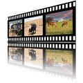 Filmstrip of domestic farm animals horses beef cow and calf also young milk cows Royalty Free Stock Photos