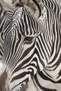 Fim da face da zebra de Grevy acima Fotos de Stock Royalty Free