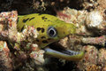 Fimbriated moray with open mouth close up of a gymnothorax fimbriatus aka darkspotted spot face mansuar raja ampat Royalty Free Stock Photos