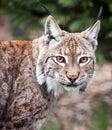 Fin de chat sauvage de lynx vers le haut Photographie stock libre de droits