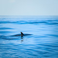 Fin of a shark in the high sea Royalty Free Stock Photo