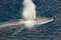 Fin Whale Stock Image