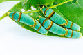 Final instar caterpillar of banded swallowtail butterfly on leaf Royalty Free Stock Photo