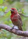 Finch bird common red head house perched on tree branch Royalty Free Stock Images