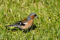 Finch bird in green grass close up of red and gray chaffinch walking Royalty Free Stock Photos