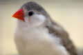 Finch little songbird close up photo about a on light background Stock Photography
