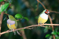 Finches sitting on a branch Royalty Free Stock Photo