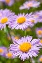Fine blue flowers Royalty Free Stock Photo