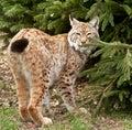 Fine del gatto selvatico del lince in su Immagine Stock