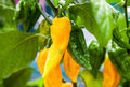 Fine grown chili pepper on plant Royalty Free Stock Photography