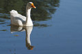 Fine white goose floating on blue water. Royalty Free Stock Photo