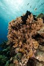 Finger leather coral in the Red Sea. Royalty Free Stock Photos
