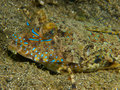 Fingered dragonet 01 Royalty Free Stock Photo