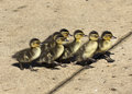Finish line ducklings racing to prove that if you follow the leader you wil never cross the first Royalty Free Stock Photo