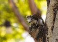 Finlayson's squirrel (Variable squirrel , Callosciurus finlayso Royalty Free Stock Photo