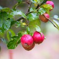 Finnish domestic apples Royalty Free Stock Photo
