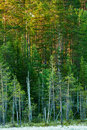 Finnish forest at dawn beautiful in vertical Stock Photos