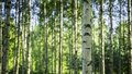 Finnish forest photo of a birch Royalty Free Stock Photo