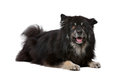 Finnish lapphund in front of a white background Stock Image