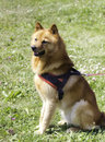 Finnish spitz dog sitting at attention wearing harness and on leash Royalty Free Stock Photos