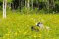 Finnsheeps in a meadow on a beautiful summer day finnsheep or finnish landrace as they are known their native country of finland Stock Images