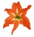 Fiore del Lilium Fotografia Stock Libera da Diritti