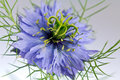 Fiore del Love-in-a-mist (damascena di Nigella) Fotografia Stock