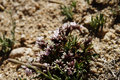 Fiore della primavera su un pendio di collina sterile in ladakh india Fotografia Stock