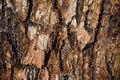 Fir bark dark texture Royalty Free Stock Photo