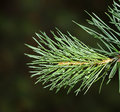 Fir branch Stock Image