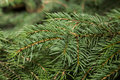 Fir branch close up Royalty Free Stock Image